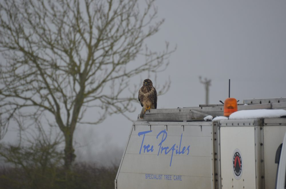 An unusual audience - A falcon sitting on the Tree Profiles truck