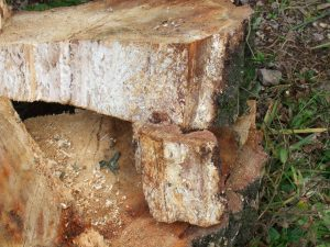 birch-with-honey-fungus-2
